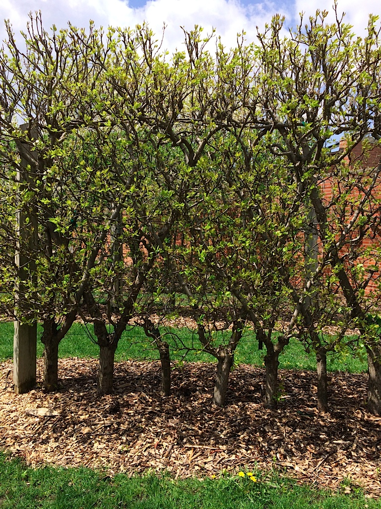 Trained Fruit Tree at the Chicago Botanic Garden